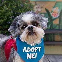 Shih Tzu Dog for adoption in Pacific Grove, California - Daisuke