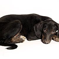 Adopt A Pet :: Trina HoundMix - St. Louis, MO