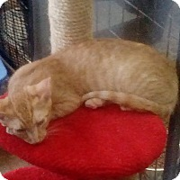Domestic Shorthair Kitten for adoption in YOUNGTOWN, Arizona - Clifford