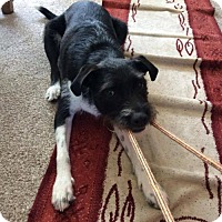 Terrier (Unknown Type, Medium) Mix Dog for adoption in Denver, Colorado - Buddy *NEEDS FOSTER*