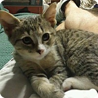 Domestic Shorthair Kitten for adoption in Warner Robins, Georgia - Axel