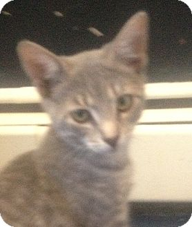 Domestic Shorthair Kitten for adoption in Trevose, Pennsylvania - Hera
