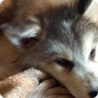 Siberian Husky Puppy for adoption in Memphis, Tennessee - Byamba~UPDATE!