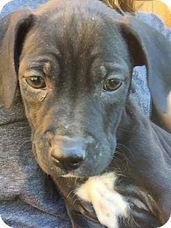 Labrador Retriever Mix Puppy for adoption in PLAINFIELD, Indiana - Quesa