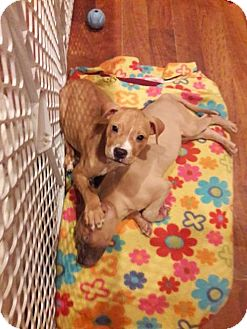 Boxer/Pit Bull Terrier Mix Puppy for adoption in Centerburg, Ohio - King