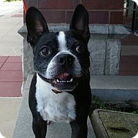Adopt A Pet :: Boomer - St. Charles, MO