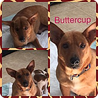 Adopt A Pet :: Buttercup - Oxford, CT