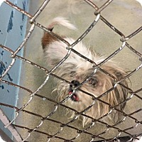 Shih Tzu Mix Dog for adoption in Evansville, Indiana - Pearl