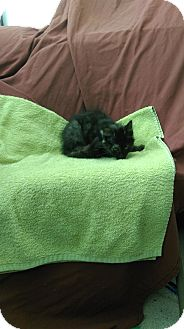 Domestic Mediumhair Kitten for adoption in University Park, Illinois - Eunice