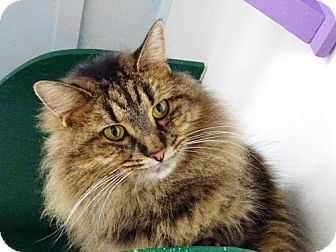 Domestic Longhair Cat for adoption in Belleville, Michigan - Abby
