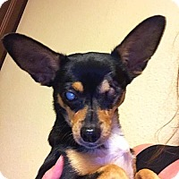 Chihuahua Mix Dog for adoption in San Antonio, Texas - a389196   Kennedy