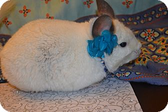 Chinchilla for adoption in Patchogue, New York - Boo