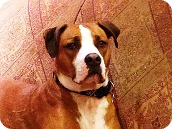 Boxer Mix Puppy for adoption in North Wales, Pennsylvania - Little Dan