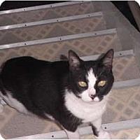 Adopt A Pet :: Joker - Warren, MI
