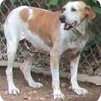 Treeing Walker Coonhound/Hound (Unknown Type) Mix Dog for adoption in Tahlequah, Oklahoma - Pinto