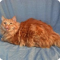 Domestic Longhair Cat for adoption in Calimesa, California - Squirt