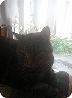 Domestic Shorthair Cat for adoption in New Bedford, Massachusetts - Pixie