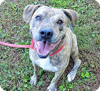 Boxer/Plott Hound Mix Dog for adoption in Newark, New Jersey - Brix