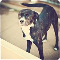 Adopt A Pet :: Ladybug - Shreveport, LA