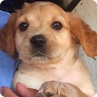Adopt A Pet :: Cookie - Thousand Oaks, CA