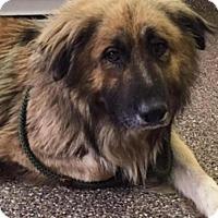 Leonberger/Collie Mix Dog for adoption in Boulder, Colorado - Ben
