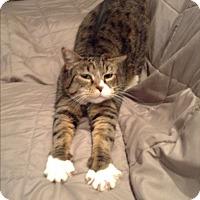American Shorthair Cat for adoption in Tacoma, Washington - Edgar