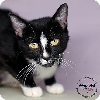 Domestic Shorthair Cat for adoption in Lyons, New York - Tilly