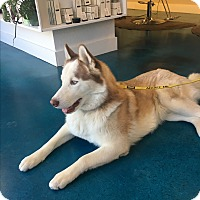 Siberian Husky Dog for adoption in Truckee, California - Sitka