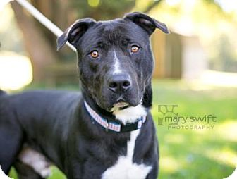 Mastiff Mix Dog for adoption in Reisterstown, Maryland - Pooh Bear