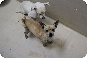 Chihuahua Mix Dog for adoption in Odessa, Texas - A36 Oliver