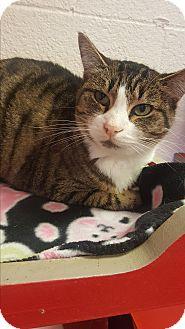 Domestic Shorthair Cat for adoption in yuba city, California - Carol