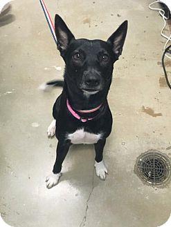 Labrador Retriever/Border Collie Mix Dog for adoption in New Braunfels, Texas - Maycee