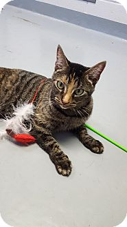 Domestic Shorthair Cat for adoption in Fort Riley, Kansas - Rosie