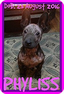 Terrier (Unknown Type, Medium) Mix Puppy for adoption in Albany, New York - PHYLISS