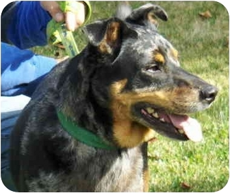 Doberman Pinscher/Australian Shepherd Mix Dog for adoption in Eugene ...