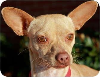 Chihuahua/Dachshund Mix Dog for adoption in Atlanta, Georgia - Enrique