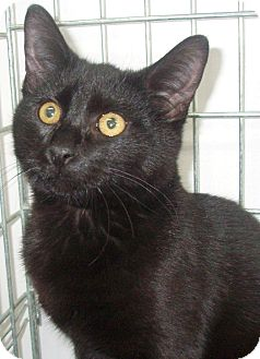 Domestic Shorthair Cat for adoption in Germansville, Pennsylvania - Onyx