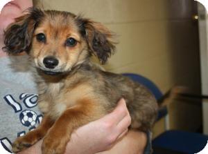 Dachshund Mix Puppy for adoption in Sparta, New Jersey - Dylan