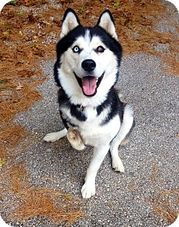 Husky Mix Dog for adoption in Muskegon, Michigan - Maya