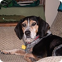 Adopt A Pet :: Belka - Novi, MI