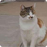 Adopt A Pet :: Cali - Washington Terrace, UT