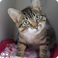 Adopt A Pet :: Mockingjay - Merrifield, VA