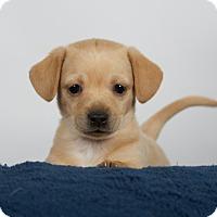 Adopt A Pet :: Dutch - Nuevo, CA
