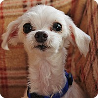 Adopt A Pet :: Georgie - Redondo Beach, CA