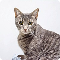 Domestic Shorthair Cat for adoption in New York, New York - Moonlight