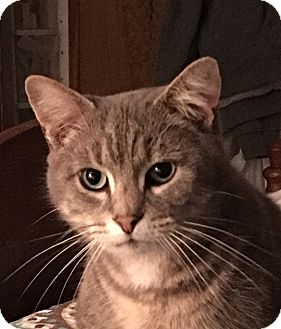 Domestic Shorthair Cat for adoption in Naperville, Illinois - Tiger