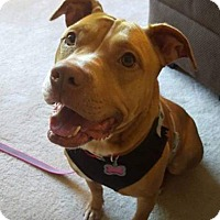 Pit Bull Terrier Mix Dog for adoption in Durham, North Carolina - Honey
