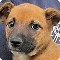 Adopt A Pet :: Giggles - Germantown, MD