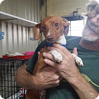 Adopt A Pet :: CESAR - Lubbock, TX