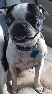 Boston Terrier Dog for adoption in Sanger, Texas - Mathilda
